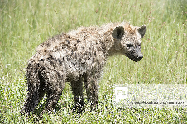 'Spotted Hyena (Crocuta crocuta) standing in grass in Serengeti National Park; Tanzania'