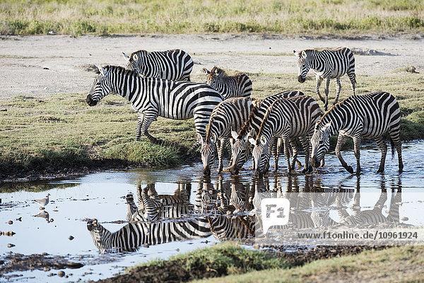 'Common Zebras (Equus quagga) drinking and reflected in stream near Ndutu  Ngorongoro Crater Conservation Area; Tanzania'