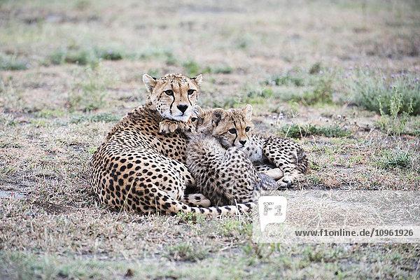 'Cheetah (Acinonyx jubatus) cubs snuggle next to mother in open grassland near Ndutu  Ngorongoro Crater Conservation Area; Tanzania'