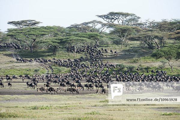 'Large herd of Wildebeest (Connochaetes taurinus) moves through acacia woodland near Ndutu  Ngorongoro Crater Conservation Area; Tanzania'