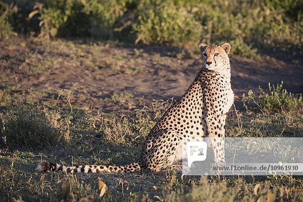 'Cheetah (Acinonyx jubatus) in golden light sits on haunches near Ndutu  Ngorongoro Crater Conservation Area; Tanzania'