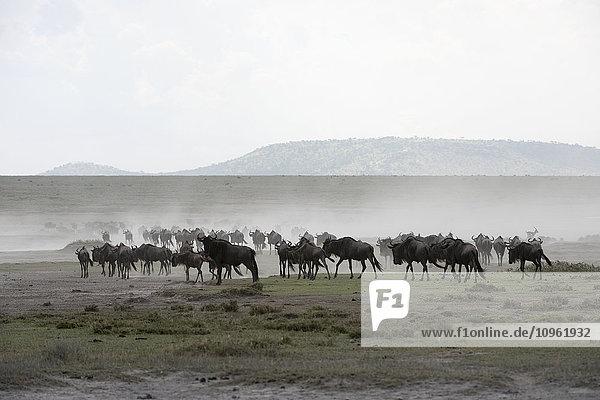 'Herd of Wildebeest (Connochaetes taurinus) stirs up dust while moving across Serengeti short grass plains near Ndutu  Ngorongoro Crater Conservation Area; Tanzania'