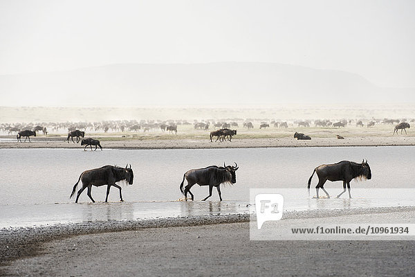 'Three Wildebeest (Connochaetes taurinus) splash through shallow lake while large herd of Wildebeest stirs up dust in the background near Ndutu  Ngorongoro Crater Conservation Area; Tanzania'