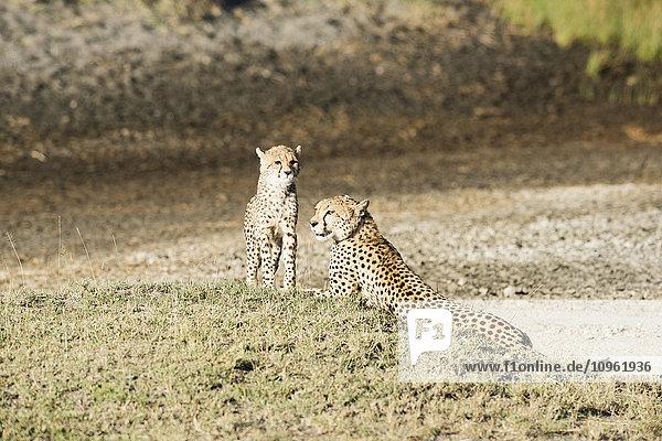 'Cheetah (Acinonyx jubatus) cub stands next to mother lying on grassy mound near Ndutu  Ngorongoro Crater Conservation Area; Tanzania'