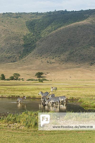 'Common Zebras (Equus quagga) drinking in waterhole in Ngorongoro Crater; Tanzania'