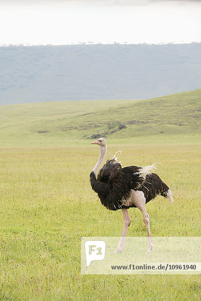 'Male Common Ostrich (Struthio camelus) with wing feathers fluttering walks across open grassland on floor of Ngorongoro Crater; Tanzania'