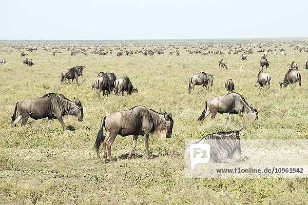 'Large herd of Wildebeest (Connochaetes taurinus) on the Serengeti short grass plains near Ndutu  Ngorongoro Crater Conservation Area; Tanzania'