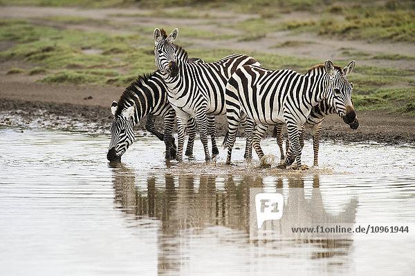 'Common Zebras (Equus quagga) crossing stream with reflections near Ndutu  Ngorongoro Crater Conservation Area; Tanzania'