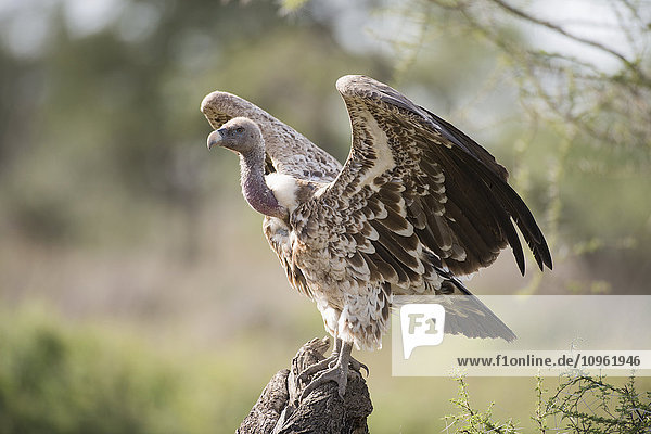 'Ruppell's Griffon Vulture (Gyps ruppellii) with wings outstretched perches on stump near Ndutu  Ngorongoro Crater Conservation Area; Tanzania'