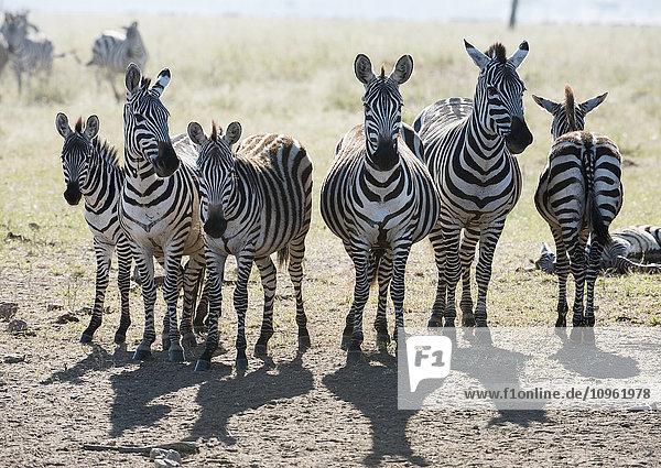 Six Common Zebra stand in line in Serengeti National Park  Tanzania