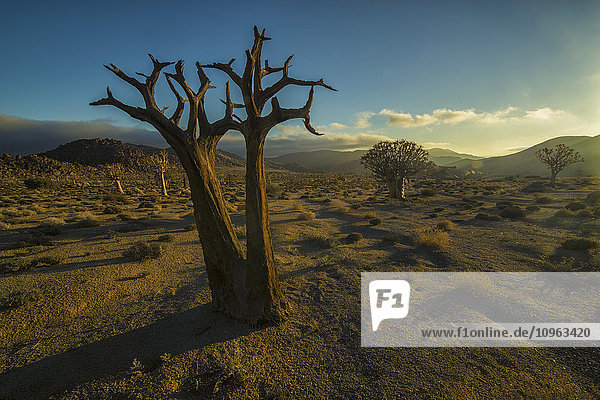 'Richtersveld National Park with dead Kookerboom tree; South Africa'