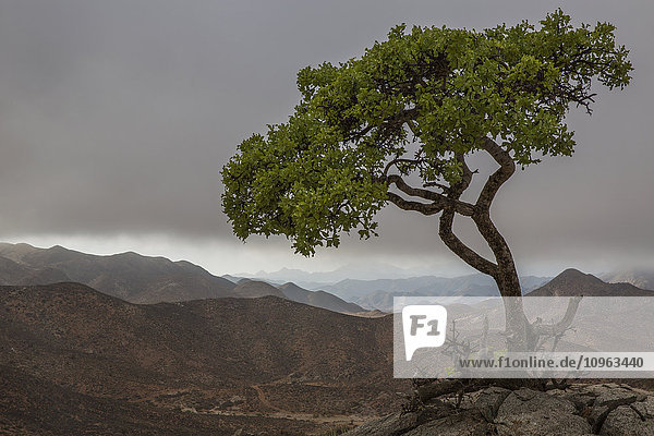 'Tree standing alone above the Richtersveld National Park landscape; South Africa'