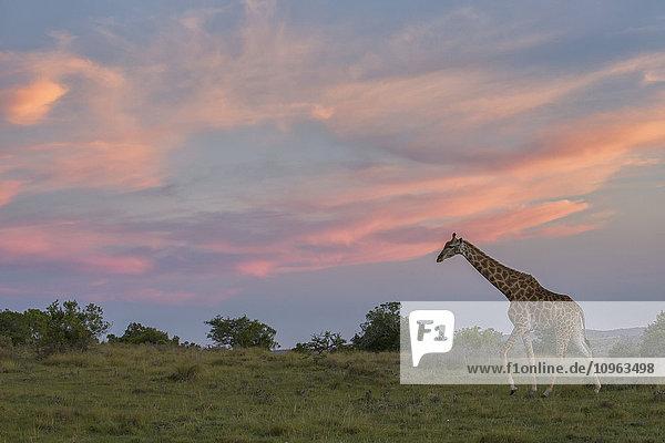 'Giraffe at sunset; South Africa'
