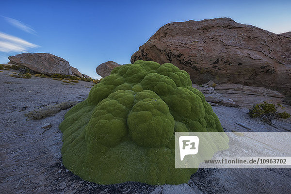'One of the oldest living organisms on earth  Yareta (Azorella compacta) grows in the high deserts of Bolivia's Altiplano; Sur Lipez  Bolivia'