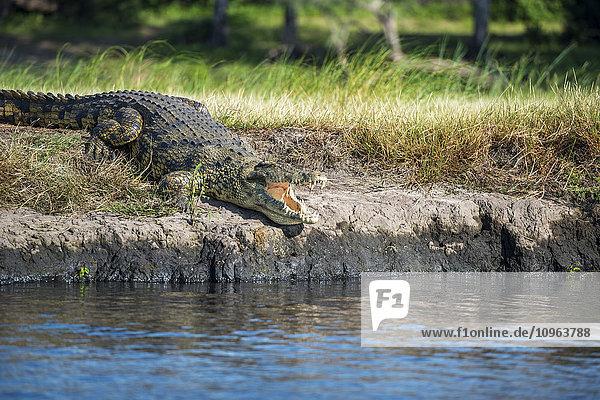 'Crocodile (Crocodylinae)  Chobe National Park; Kasane  Botswana'