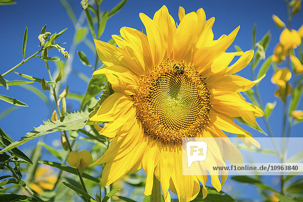 'Bright yellow sunflower (Helianthus) with bumblebee (Bombus) in front of blue sky; Maryland  United States of America'