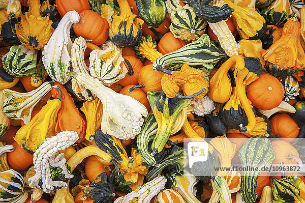 'Large pile of ornamental squash and small pumpkins; Elkton  Maryland  United States of America'