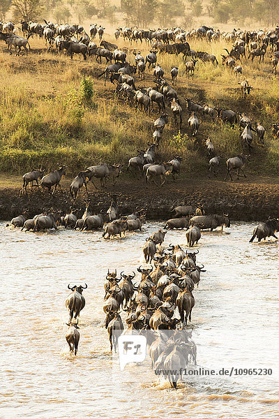 'Large group of Wildebeest (Connochaetes taurinus) surges across the flooded Mara River in Serengeti National Park; Tanzania'