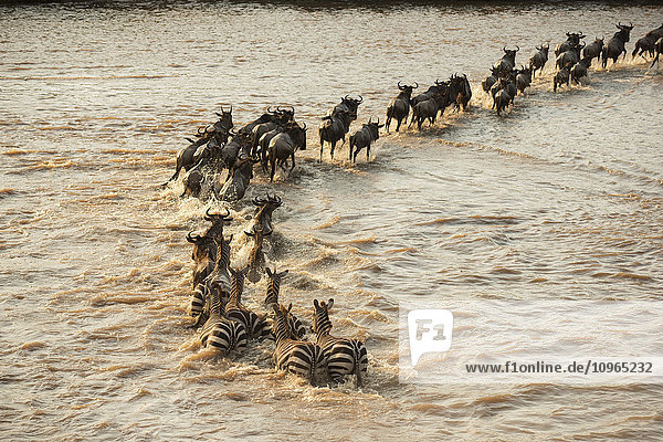 'Mixed group of Zebras (Equus quagga) and Wildebeest (Connochaetes taurinus) crossing the flooded Mara River in Serengeti National Park; Tanzania'
