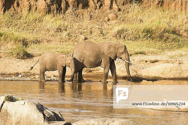 'Female Elephant (Loxodonta africana) and calf on banks of the Mara River in Serengeti National Park; Tanzania'