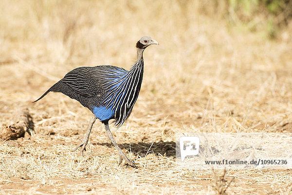 'Vulturine Guineafowl (Acryllium vulturinum)  Samburu National Reserve; Kenya'