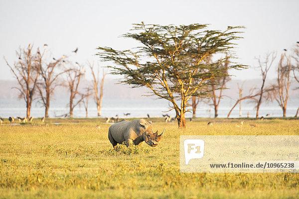 'White Rhinoceros (Ceratotherium simum) grazes in open savannah  Lake Nakuru National Park; Kenya'