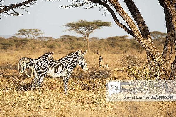 'Grevy's Zebras (Equus grevyi) with Beisa Oryx in the background in the dry season savannah  Samburu National Reserve; Kenya'