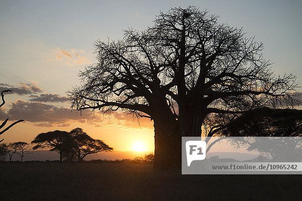 'Leafless baobab tree at sunset  Tarangire National Park; Tanzania'