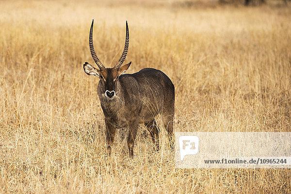 'Male Common Waterbuck (Kobus ellipsiprymnus) in dry grass  Tarangire National Park; Tanzania'