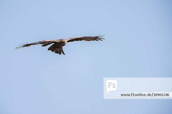 'Yellow-billed Kite (Milvus parasiticus) hovering  Ngorongoro Crater; Tanzania'