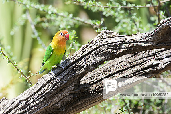 'Fischer's Lovebird (Agapornis fischeri) perched on dead branch  Ngorongoro Crater Conservation Area; Tanzania'