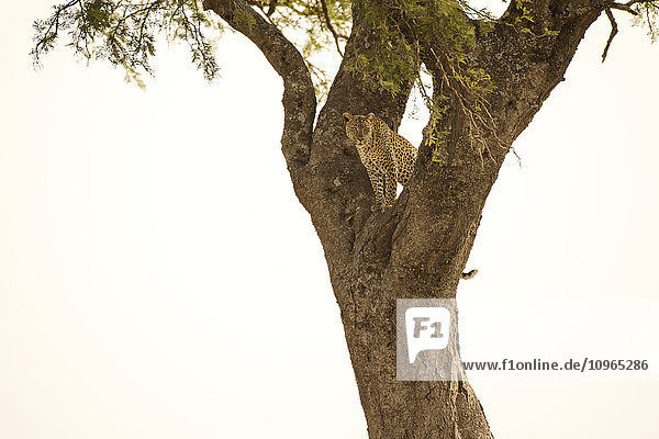 'Female Leopard (Panthera pardus) stares from tree  Serengeti National Park; Tanzania'