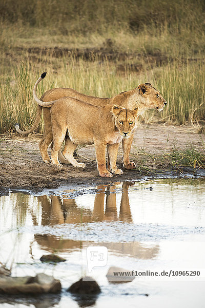 'Two lionesses (Panthera leo) reflected in pool  Serengeti National Park; Tanzania'