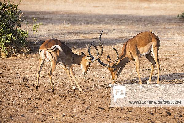 'Two male Impalas (Aepyceros melampus) sparring  Samburu National Reserve; Kenya'