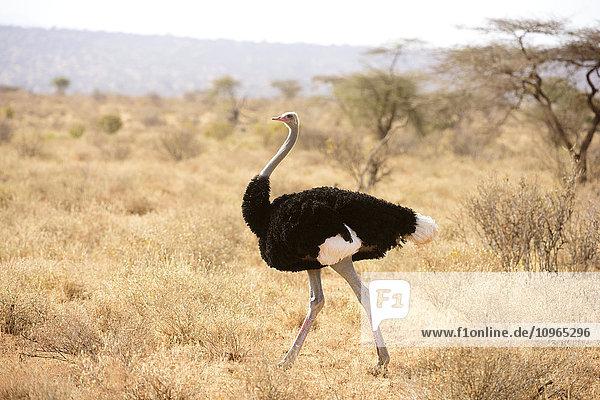 'Male Somali Ostrich (Struthio molybdophanes) in breeding plumage  Samburu National Reserve; Kenya'