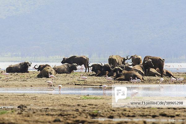 'Group of Cape Buffalo (Syncerus caffer) surrounded by Lesser Flamingos (Phoeniconaias minor)  Lake Nakuru National Park; Kenya'