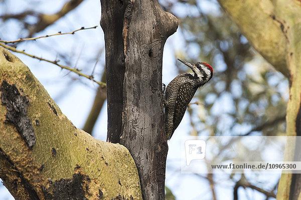 'Male Nubian Woodpecker (Campethera nubica)  Lake Nakuru National Park; Kenya'