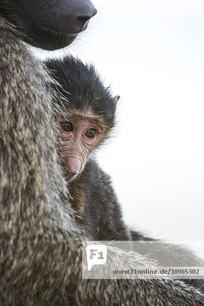 'Young Olive Baboon (Papio anubis) rests against mother's chest  Lake Nakuru National Park; Kenya'