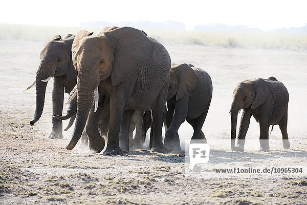 'African elephant (Loxodonta africana) family walks across dusty plain  Amboseli National Park; Kenya'