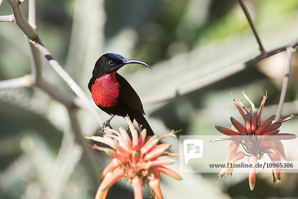 'Male Scarlet-chested Sunbird (Chalcomitra senegalensis) perched on aloe flower  Tarangire National Park; Tanzania'