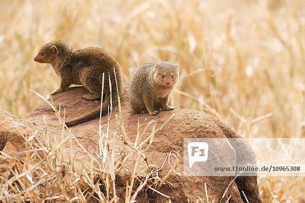 'Pair of Dwarf Mongoose (Helogale parvula) on termite mound  Tarangire National Park; Tanzania'