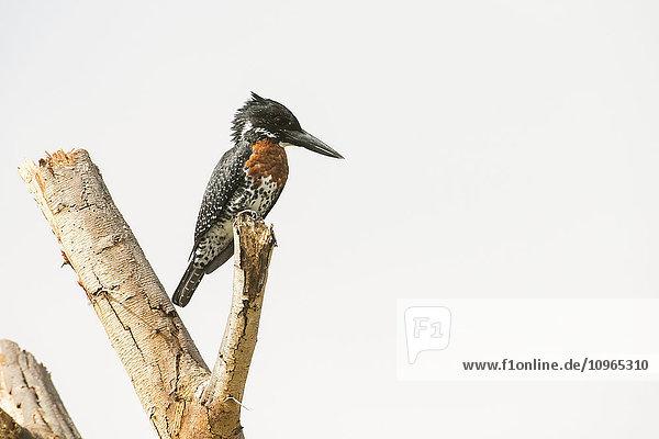 'Giant Kingfisher (Megacyrle maxima)  world's largest kingfisher  perched on dead branch  Lake Naivasha; Kenya'