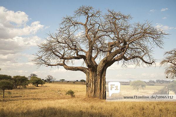 'Leafless baobab tree during dry season  Tarangire National Park; Tanzania'