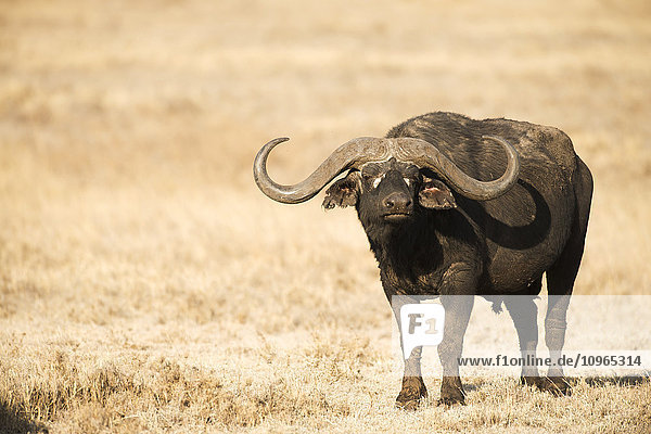 'Large Cape Buffalo (Syncerus caffer) bull standing in dry grass  Ngorongoro Crater; Tanzania'