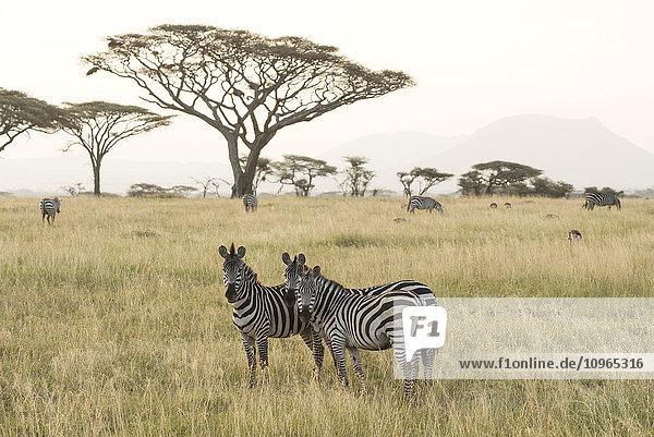 'Common Zebras (Equus quagga) stand in dry season savannah  Serengeti National Park; Tanzania'