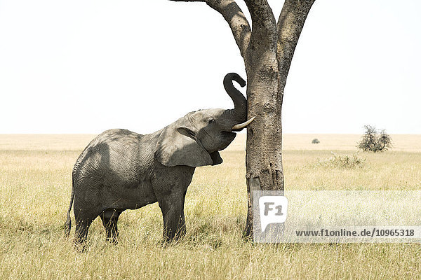'Young bull African Elephant (Loxodonta africana) rubs trunk and tusks against tree  Serengeti National Park; Tanzania'