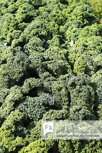 'Close up of a row of curly kale; Innisfail  Alberta  Canada'