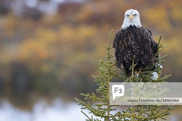 'Bald Eagle (Haliaeetus leucocephalus) sitting on a tree along the Dempster Highway; Yukon  Canada'