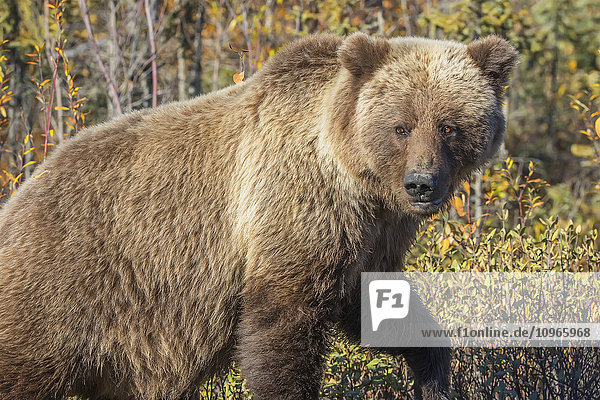 'Grizzly Bear (Ursus arctos) in autumn foliage along the Dempster Highway; Yukon  Canada'