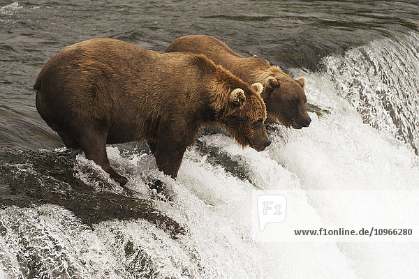 'Two brown bears (ursus arctos) staring intently at the water from the top of Brooks Falls  waiting for salmon to jump; Alaska  United States of America'